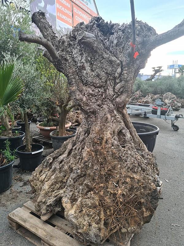 olivove drevo