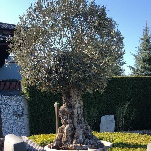olivovnik