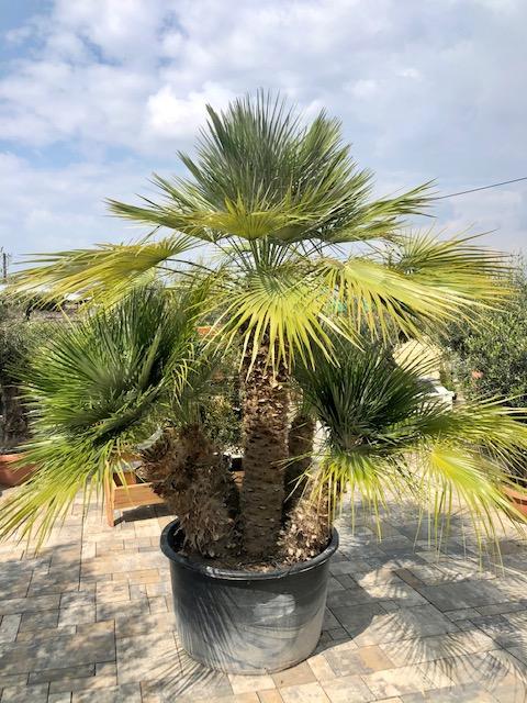 trachycarpus fortunei (Trachykarp konopný)